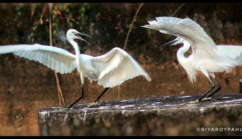 Birding in Assonora,Goa