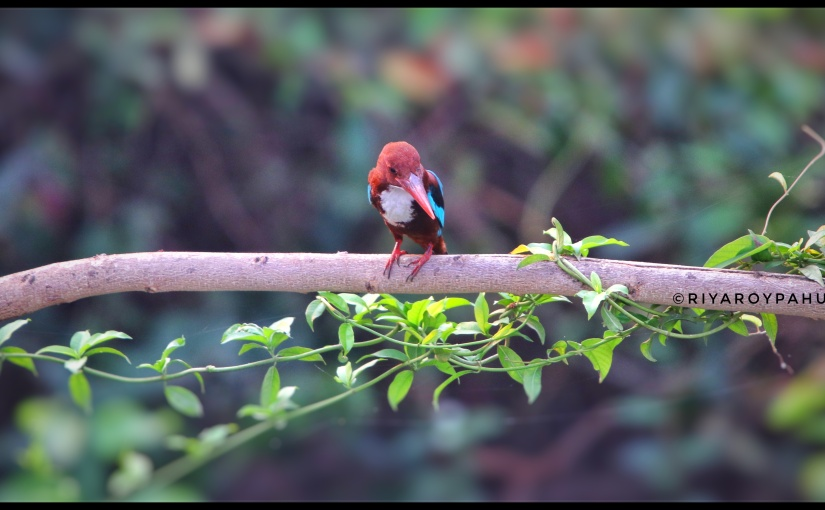 White throated kingfisher (Halcyon pileata)