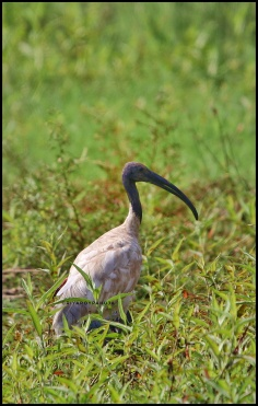 The black-headed ibis (Threskiornis melanocephalus)