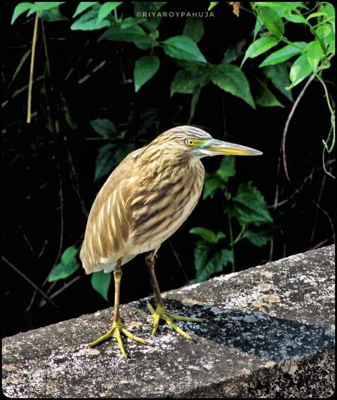My very first close encounter with indian pond heron near my building resulted into this image. Mode:A