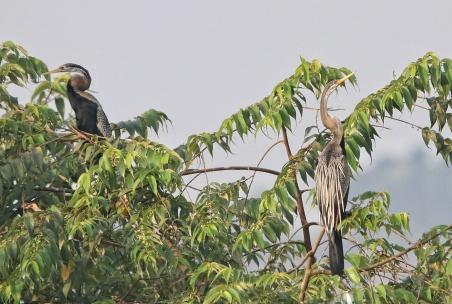 Oriental darter (Anhinga melanogaster)