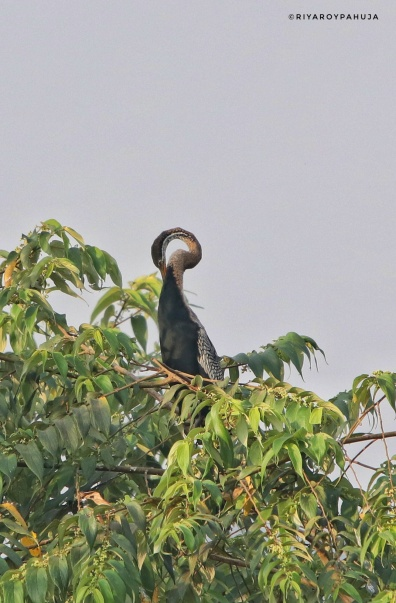 Oriental darter or snake bird