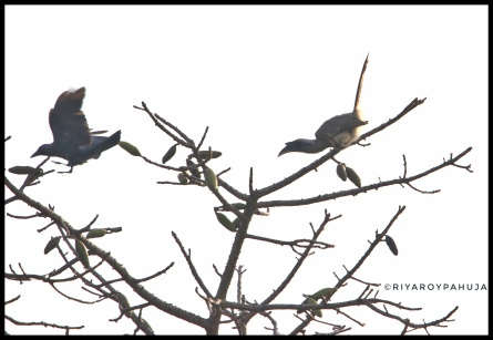 Indian grey hornbill chasing a house crow