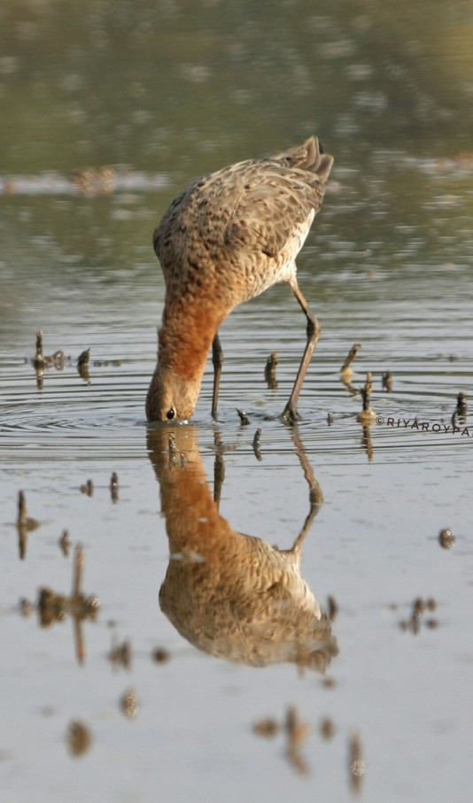 The black-tailed godwit (Limosa limosa) in breeding pluamge