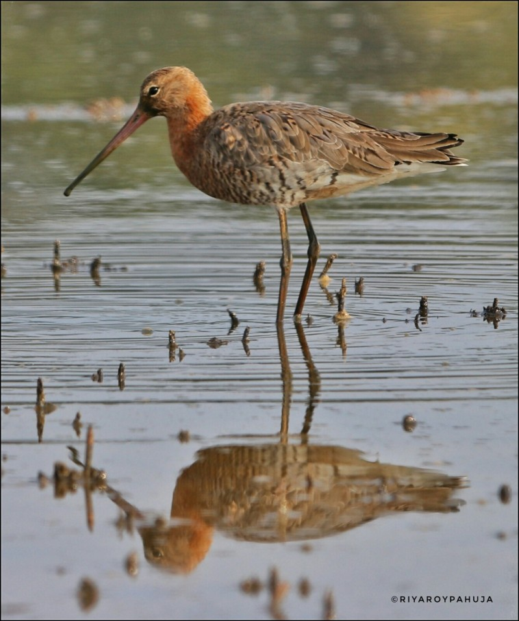 The black-tailed godwit (Limosa limosa) in breeding plumage