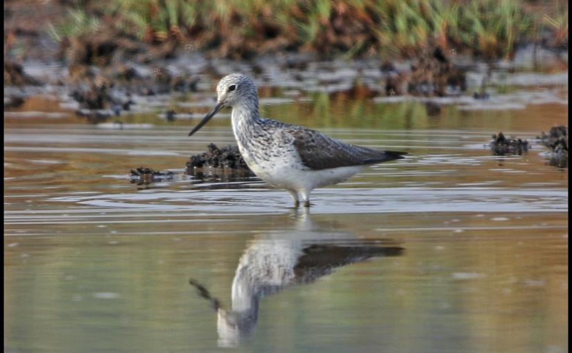 Carambolim lake bird watching -part2