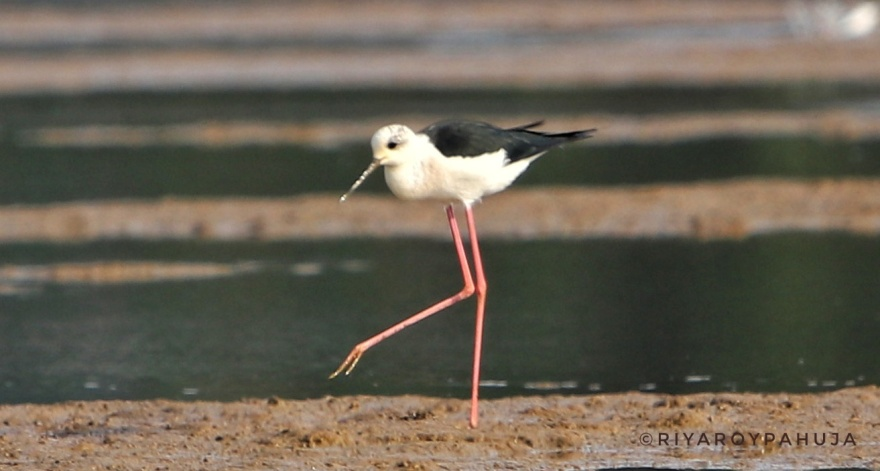 The black-winged stilt (Himantopus himantopus)