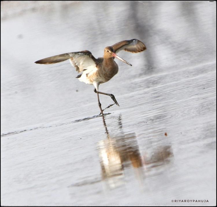 Take of :The black-tailed godwit (Limosa limosa)
