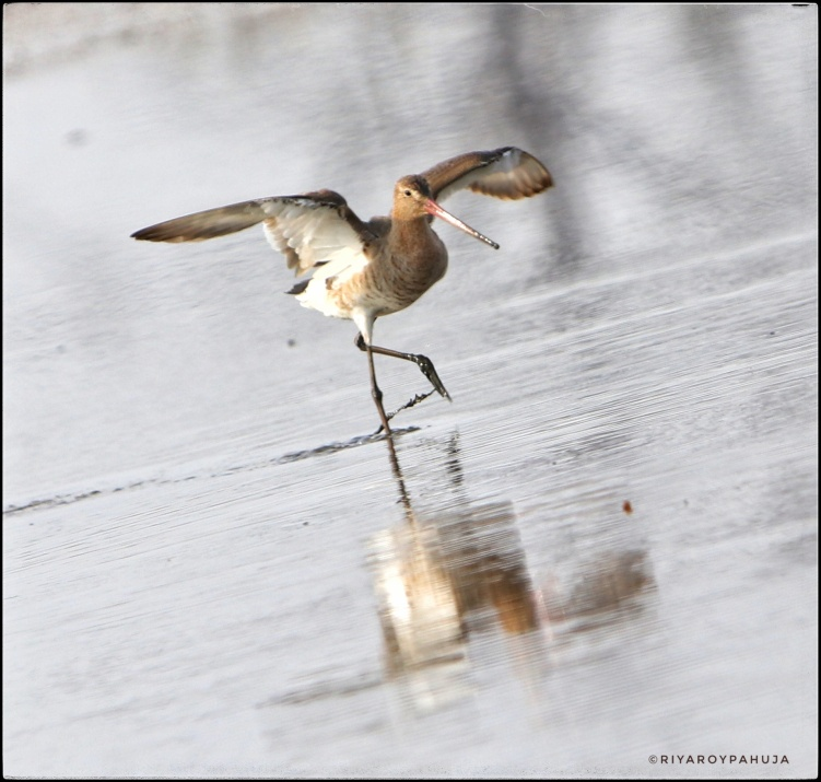 Take of :The black-tailed godwit (Limosa limosa)