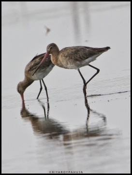 A pair of black-tailed godwit (Limosa limosa)