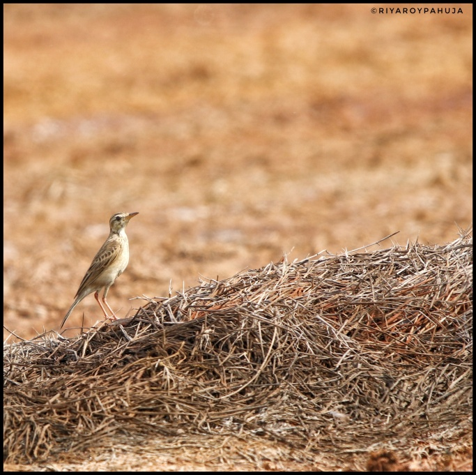 The paddyfield pipit or Oriental pipit (Anthus rufulus)