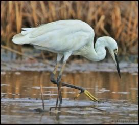 The little egret (Egretta garzetta)