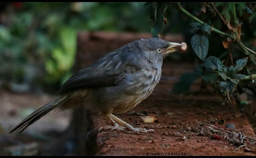 Birds of Panchgani