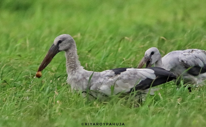 An evening with Asianopenbill