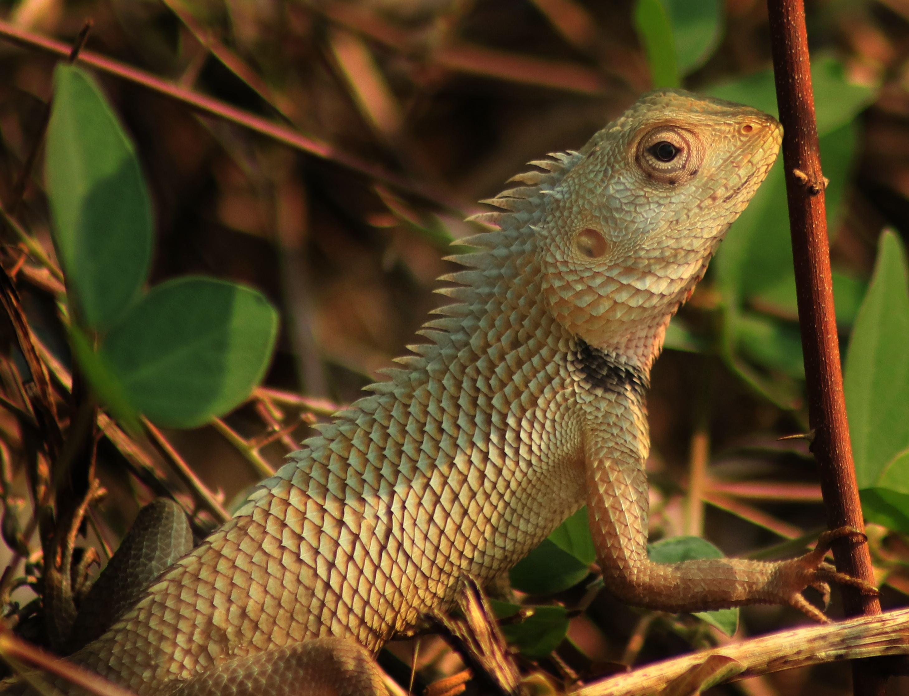 Oriental Garden Lizard Calotes Versicolor Riya S Own Space