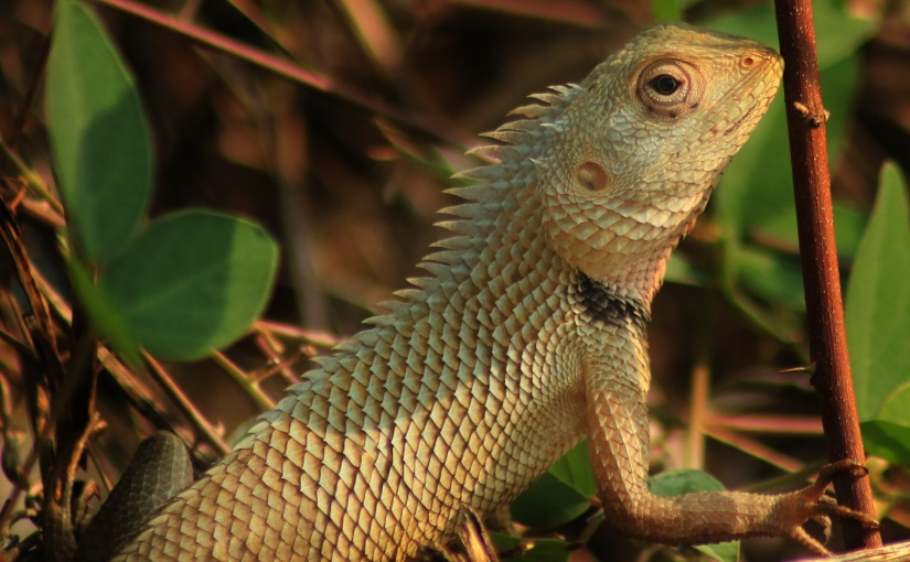 Oriental Garden lizard (Calotesversicolor)